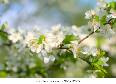 White cherry blossoms in spring, blue sky in the background