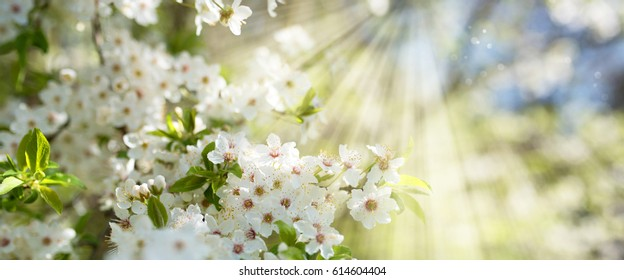 White cherry blossoms in spring sun with blue sky and tender bokeh