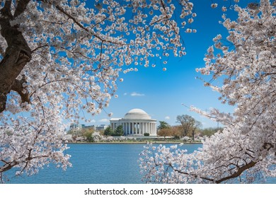 White cherry blossoms trees in full bloom in Washington, DC framing the Jefferson Memorial across the Tidal Basin
