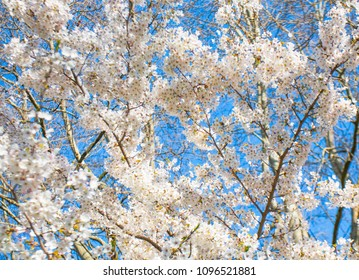 White cherry branches in blossom