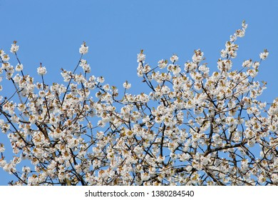 White Cherry Flowers at Blossom in Spring