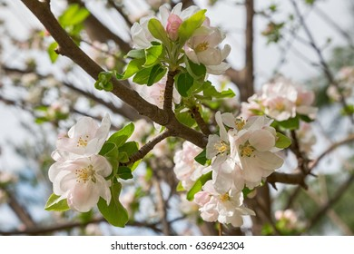 white cherry flowers on spring time