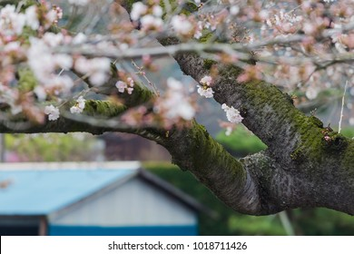 White cherry or Japanese sakura flower blossoms on big tree with green moss