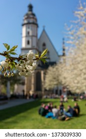 White cherry tree blossoms in front of the St. Thomas Church in Leipzig