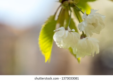 White cherry tree blossoms in spring