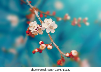 White cherry tree flowers blossom on branch in spring. Nature spring beautiful floral background, pastel white flower and blue colors