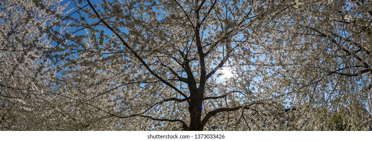 White cherry tree in spring