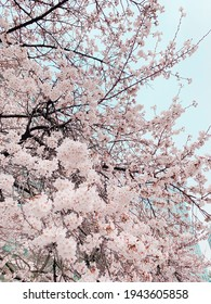white cherryblossom in seoul korea