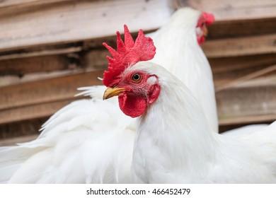 White Chicken with red crest - soft focus