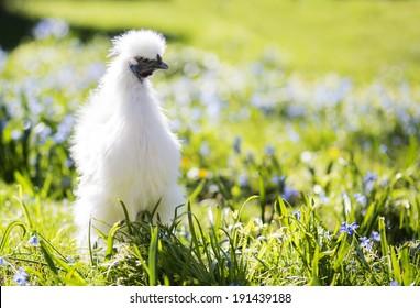 White chicken in the sunny garden