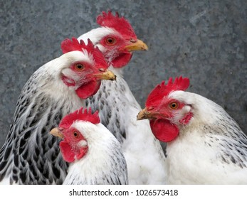 White chickens on the farm