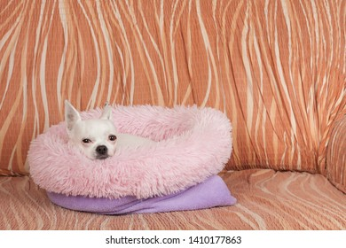 White Chihuahua lying on soft dog bed from hollow fiber on sofa, 5 years old female.