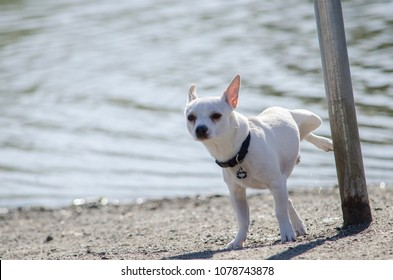 White Chihuahua peeing on a pole at the beach