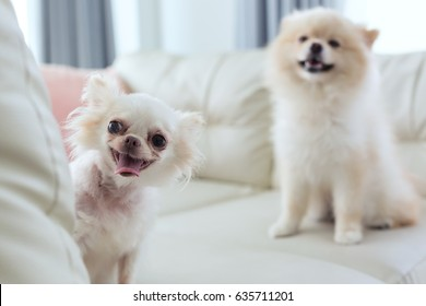 white chihuahua and pomeranian dog cute pet happy smile sitting on seat sofa furniture in home living room