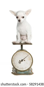 White chihuahua puppy on an antique green and rust household weight scale with round dial, numbers going up to 20 pounds, weighing 3 pounds. isolated on white.