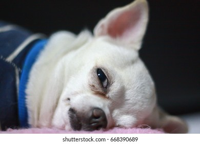 White Chihuahua puppy sleeping