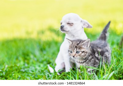 White chihuahua puppy and tabby kitten sitting together on green summer grass on a sunny day and looking away on empty space