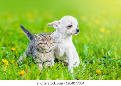 White chihuahua puppy and tabby kitten walking together on a dandelion field