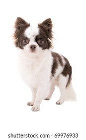 white with chocolate chihuahua dog isolated on white background