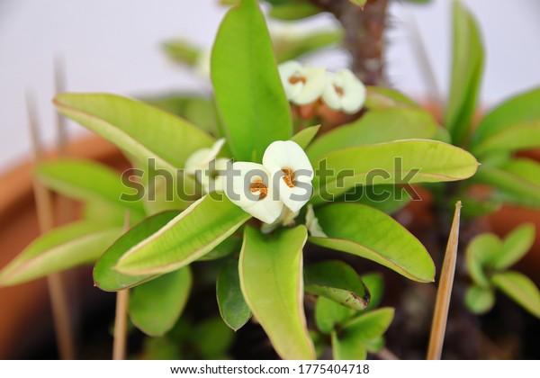 white-christ-plant-flower-close-600w-177