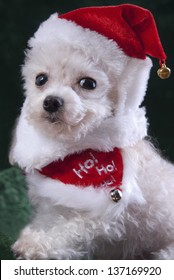 White christmas poodle