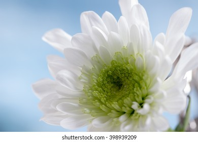 White chrysanthemum against a pale blue background
