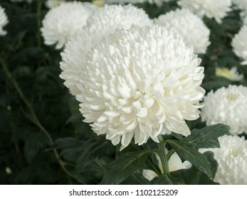 White chrysanthemum anastasia