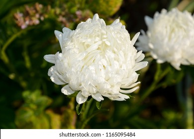 White chrysanthemum closeup on blurred background. The small flower with long petals, white.