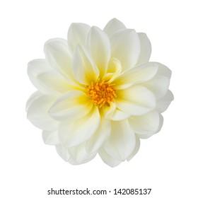 white chrysanthemum dahlia isolated on white
