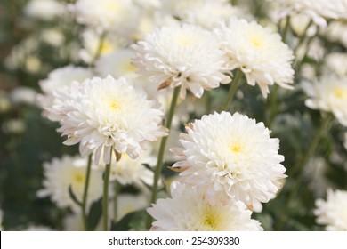 White chrysanthemum flower.
