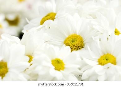 white Chrysanthemum Flower in Garden