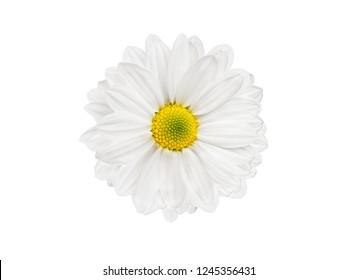 white chrysanthemum flower isolated on white background for designer