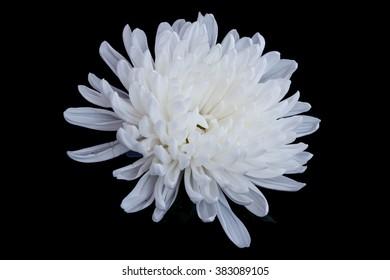 White chrysanthemum flower isolated on black background