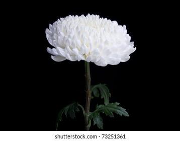white chrysanthemum flower isolated on black