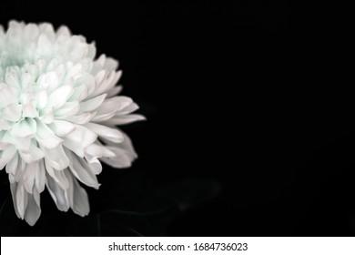 White chrysanthemum flower on a black background