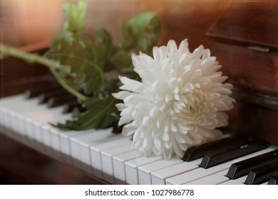 A white chrysanthemum flower on a green stem with leaves rests on the black and white keys of an antique lacquered piano made of brown wood