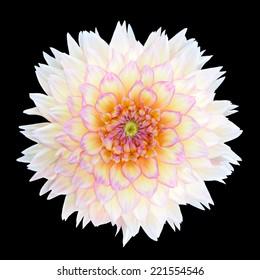 White Chrysanthemum Flower with Purple Center Isolated over Black Background. Beautiful Dahlia Flowerhead Macro