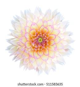 White Chrysanthemum Flower with Purple Center Isolated over White Background. Beautiful Dahlia Flowerhead Macro