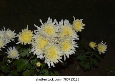 White Chrysanthemum Flowers Ez Canvas