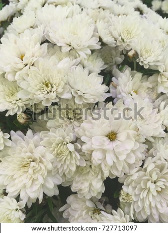 White Chrysanthemum Flowers White Autumn Flowers Stock Photo Edit