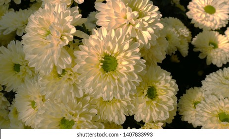 White chrysanthemum flowers. Beautiful Chrysanthemums and Daisies in the agriculture garden. Beautiful chrysanthemum as background picture. Chrysanthemum wallpaper, chrysanthemums in autumn.