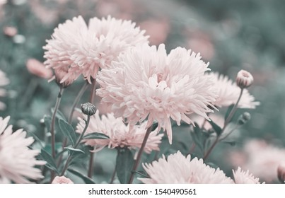 White Chrysanthemum flowers bloom in autumn in the flower garden. Beautiful white chrysanthemum flowers close up.