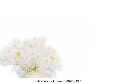 White chrysanthemum flowers isolated on white background.