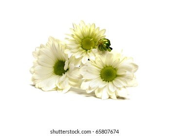 White Chrysanthemum Flowers on the white isolate background