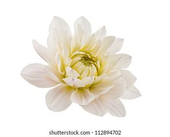 white chrysanthemum isolated on white background
