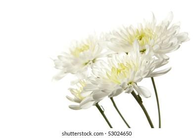 White Chrysanthemum Isolated on White Background. Studio lit and isolated