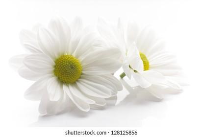White chrysanthemum isolated on white backgrounds.