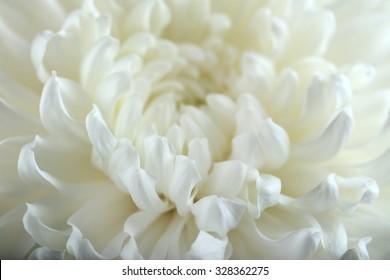 White chrysanthemum, macro