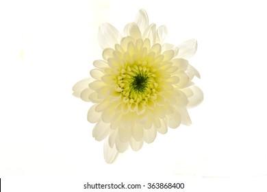 White chrysanthemum on a white background