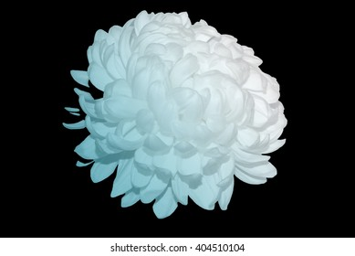 White Chrysanthemum Touched By Azure Light 1.